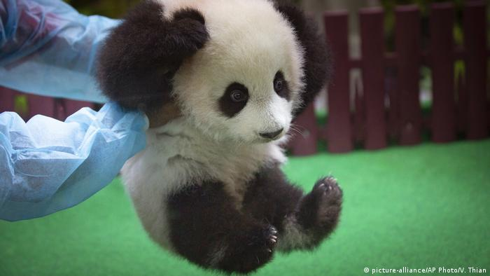 A zoo worker plays with a new baby panda at Malaysia Zoo in Kuala Lumpur