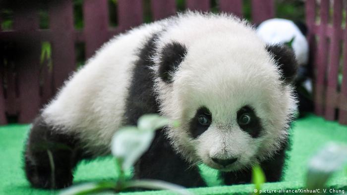 A giant panda cub makes the first public appearance at the Malaysian national zoo near Kuala Lumpur