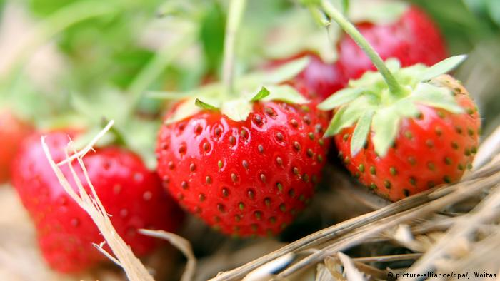 Strawberries in a field in eastern Germany (picture-alliance/dpa/J. Woitas)