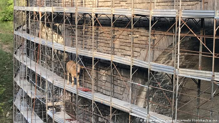 Cow in Bavaria on a bridge scaffold (picture-alliance/dpa/Feuerwehr Flintsbach a. Inn)