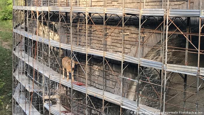 Cow in Bavaria on a bridge scaffold