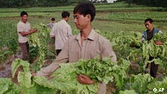 Chinese tobacco farm