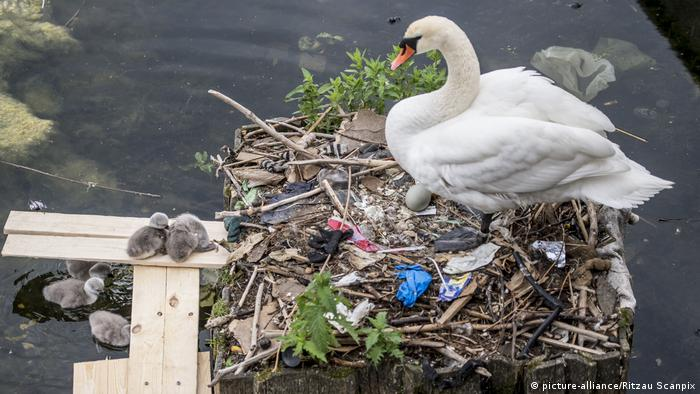 A swan nesting in garbage on a Copenhagen lake