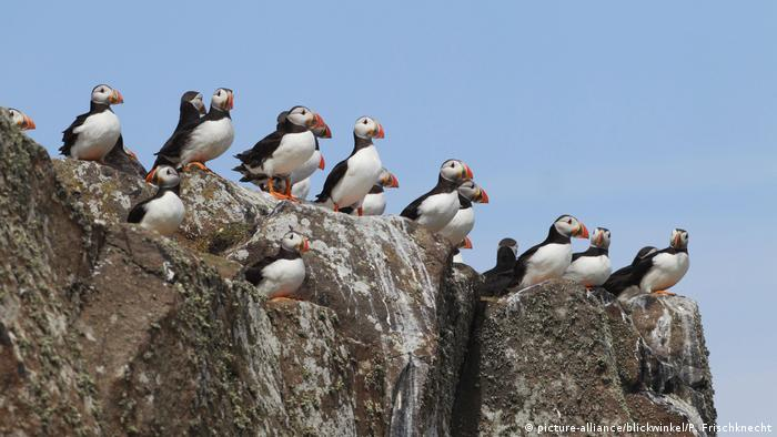 Several puffins stand beside each other