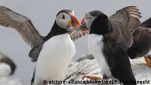 Papageientaucher, Papageien-Taucher, Papageitaucher, Papagei-Taucher, Fratercula arctica, Atlantic puffin, Common puffin