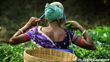 Women collecting famous tea leaves of Assam in tea plantation , Assam , India PUBLICATIONxNOTxINxIND Women collecting Famous Tea Leaves of Assam in Tea Plantation Assam India