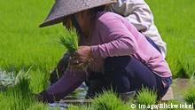 Indonesien Frauen sortieren Reissetzlinge an den Reisterrassen von Jatiluwih