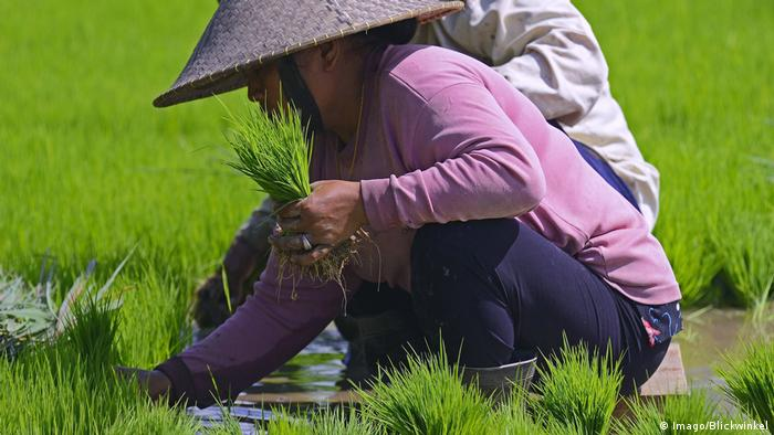 Indonesien Frauen sortieren Reissetzlinge an den Reisterrassen von Jatiluwih (Imago/Blickwinkel)