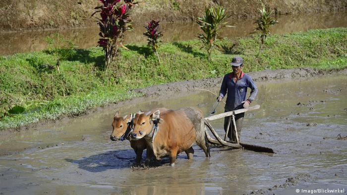 Indonesien Reisbauer bearbeitet ein Reisfeld mit Ochsen an den Reisterrassen von Jatiluwih (Imago/Blickwinkel)