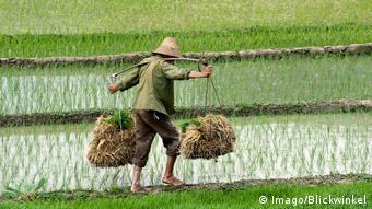В странах Азии опасаются нехватки риса