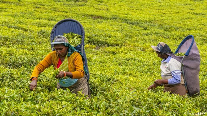 Sri Lanka Frauen ernten Teebläter (Imago/BE&W)