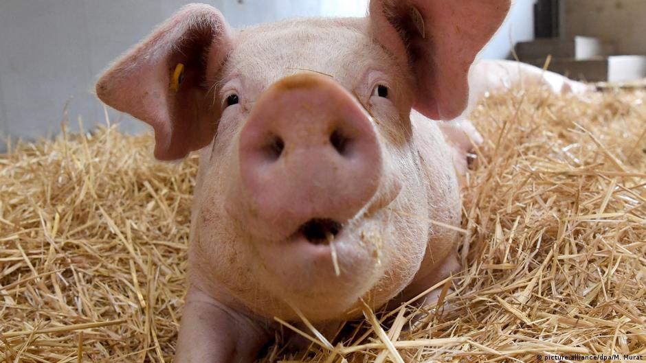 Африканская чума свиней добралась до Западной Европы