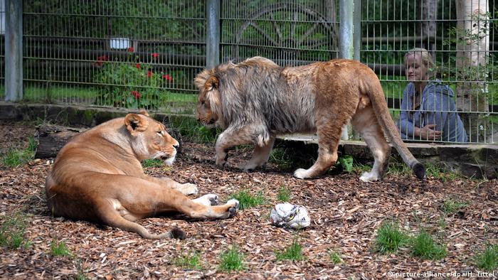 Lions in Eifel Zoo in Lünebach