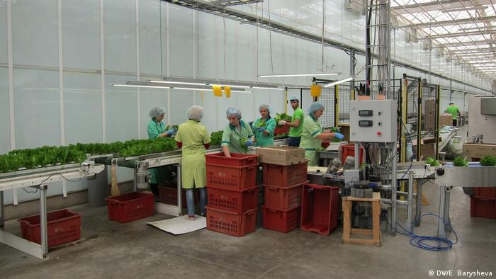 Женщины Пикалева на работе в теплице