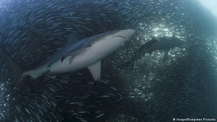 DW eco@africa - A sharp attacks the sardine run