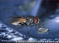 Una mosca es capaz de distinguir hasta 100 imágenes por segundo; un humano sólo 25.