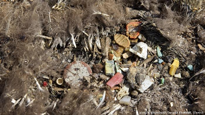 Totes Albatrossküken mit verschlucktem Plastik (picture-alliance/All Canada Photos/R. Olenick)