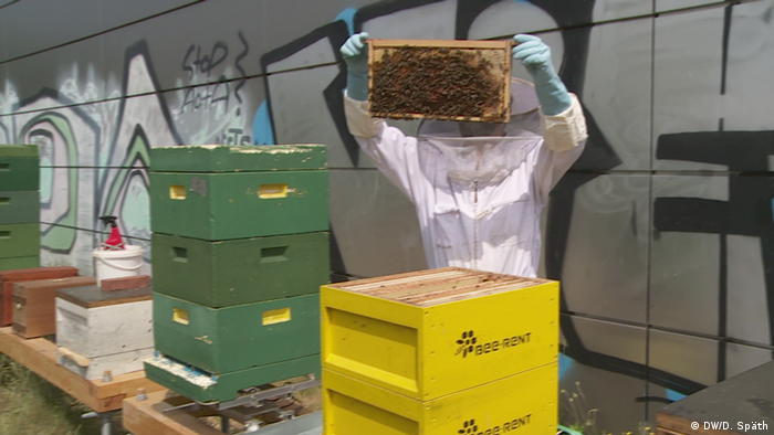 A citizen scientist at work with bees (DW/D. Späth)