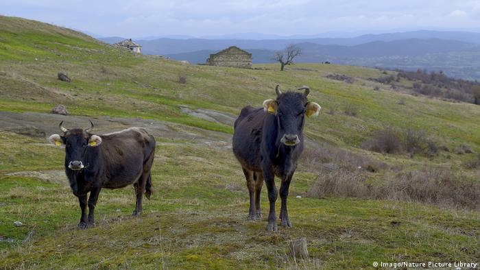 Cows in Bulgaria similar to Penka
