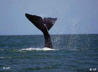 A whale tail is seen extended out of the ocean