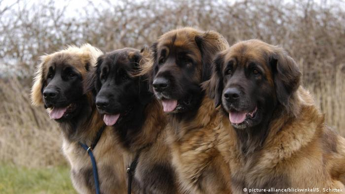 Hunderasse - Leonberger