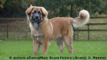 Hunderasse - Leonberger (picture-alliance/Mary Evans Picture Library/J. D. Meester)
