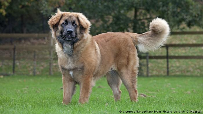 Dog breed- Leonberger (picture-alliance/Mary Evans Picture Library/J. D. Meester)