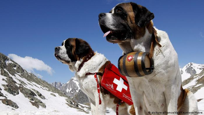 Two St. Bernard dogs (picture-alliance/dpa/Keystone/Maire)