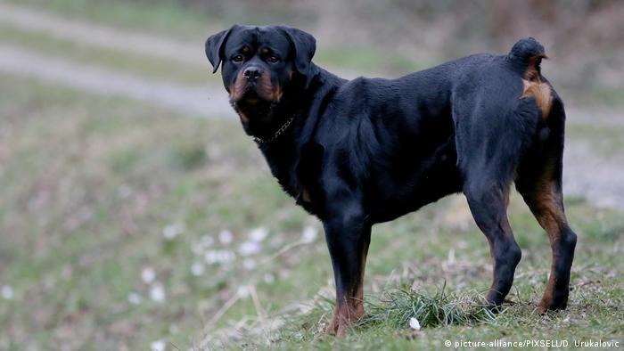 Dog breeds - Rottweiler (picture-alliance/PIXSELL/D. Urukalovic)