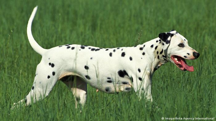 Dog breeds - Dalmatian (Imago/Anka Agency International)