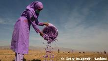 TOPSHOT - In this photograph taken on October 27, 2017 an Afghan woman collects saffron flowers after picking them in a field on the outskirt of Herat. For years, Afghanistan has tried to give farmers alternatives such as fruit crops and saffron to wean them away from poppy farming -- the lifeblood of the Taliban insurgency. International donors have splurged billions of dollars on counter-narcotics efforts in Afghanistan over the past decade, including efforts to encourage farmers to switch to other cash crops such as saffron. But those efforts have shown little results. / AFP PHOTO / HOSHANG HASHIMI (Photo credit should read HOSHANG HASHIMI/AFP/Getty Images)
