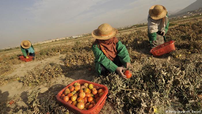 Afghanistan Frauen Feldarbeit Argarkultur Landwirtschaft (Getty Images/R. Gacad)