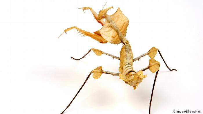 Giant Devil's Flower Mantis (Imago/Blickwinkel)
