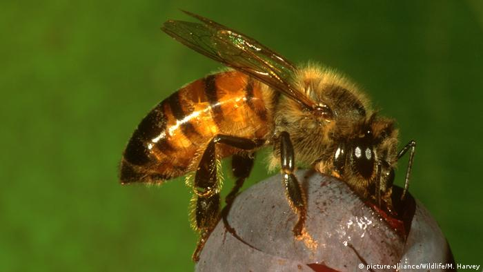 The African honeybee (picture-alliance/Wildlife/M. Harvey)