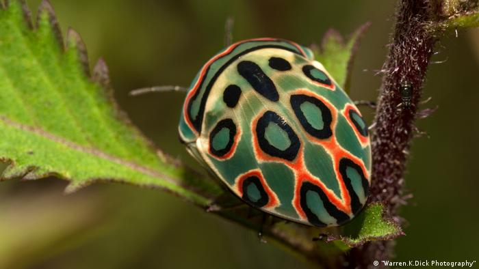 The amazing Picasso bug (Warren.K.Dick Photography)