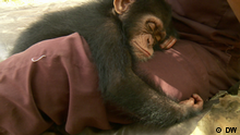 Saving West African chimps in Liberia