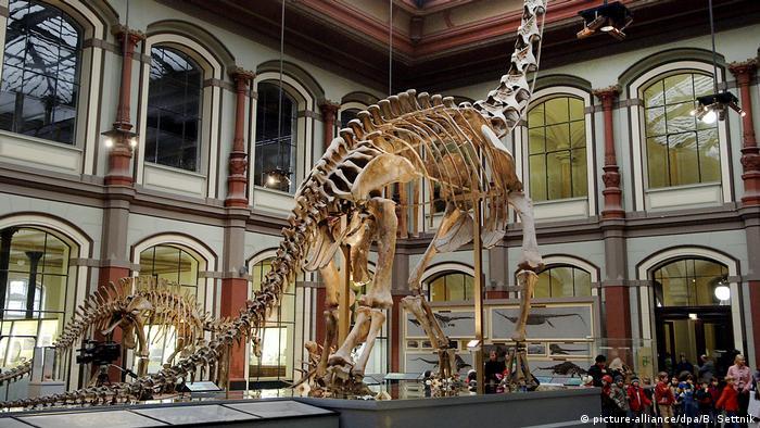 A Brachiosaurus skeleton on display in a museum in Berlin