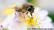 Bundesregierung stuft das Insektensterben als dramatisch ein. Fliege auf einer Blüte. Bolsterlang Bayern Deutschland ***