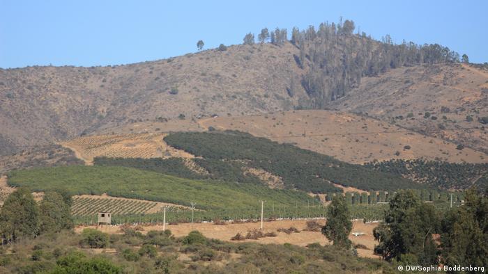 Plantaciones de aguacates en Chile.