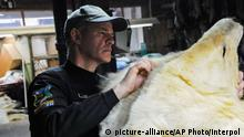 A Canadian wildlife offier inspects a Polar Bear skin (picture-alliance/AP Photo/Interpol )