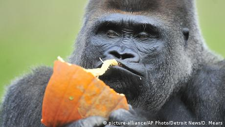 Koko the gorilla (picture-alliance/AP Photo/Detroit News/D. Mears)