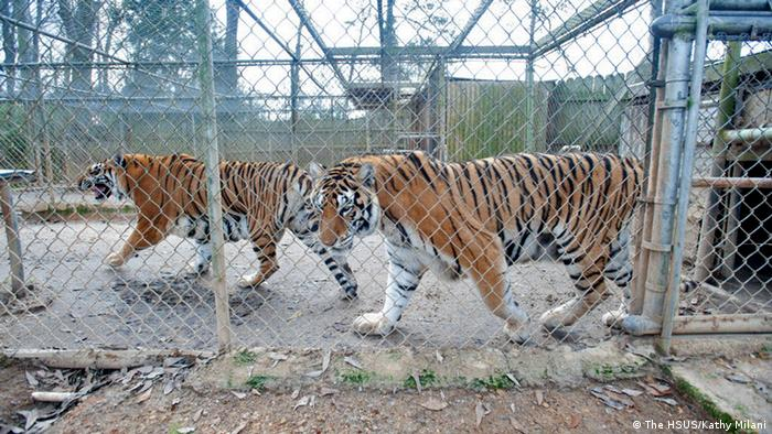 Tigers prowl Texas backyards | Environment| All topics from