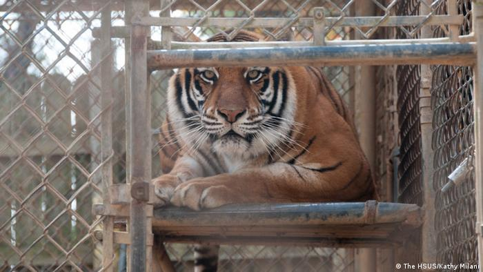 Tigers in inadequate enclosures at a roadside zoo in Mississippi (The HSUS/Kathy Milani)