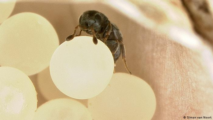 Wasp laying eggs