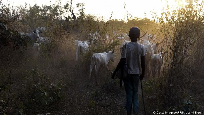 A young boy herding a group of cows