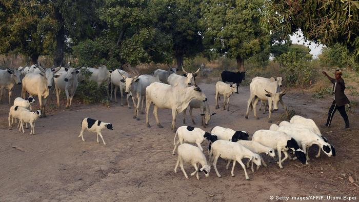 A herdsman leads his cattle and livestock in Benue state
