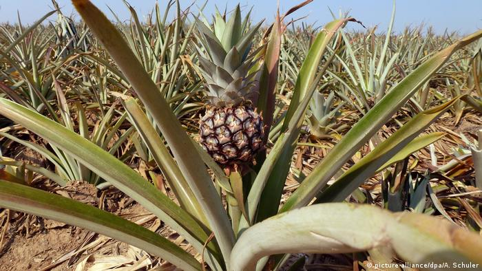 A field full of pineapples in Thailand (picture-alliance/dpa/A. Schuler)