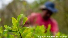 Farmer harvesting coca plants in a coca plantation, Cauca, Colombia |