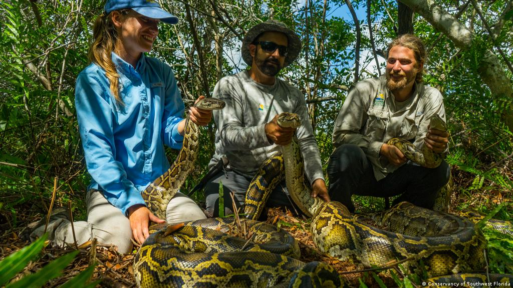 The Burmese python and the fight for the Florida Everglades