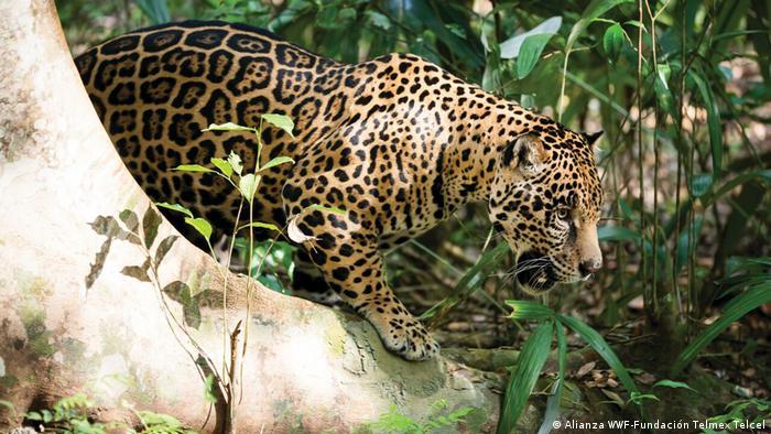 El Amazonas es una de las regiones con la mayor biodiversidad del planeta. Más de 3.000 especies de peces viven allí. Además, hay mamíferos como el jaguar o la nutria gigante, y miles de especies de aves. Pero hay muchas especies que aún ni siquiera han sido descubiertas. Una cosa es segura: su hábitat desaparece cada vez más rápido.